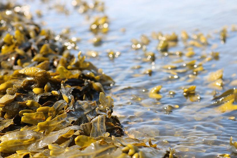 seaweed-3524238_1920.jpg