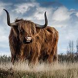 highland-cow-g88cfa46cb_1920.jpg