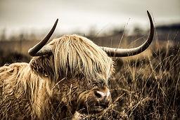 highland-cow-g321f5a6cd_1920.jpg