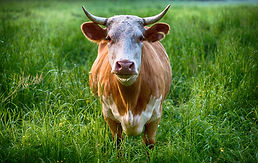 bull-g404e1cc26_1920.jpg