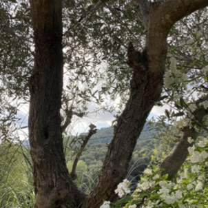 Concavitat olivera