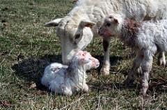 Características Reprodutivas da Ovelha – Parte I