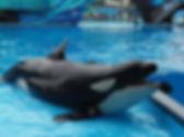 #dinewithshamu #seaworldorlando #orca #b