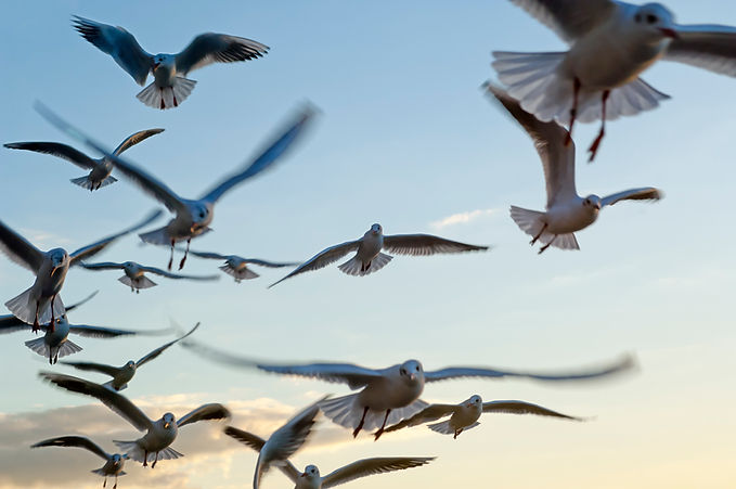 Seagulls; birds