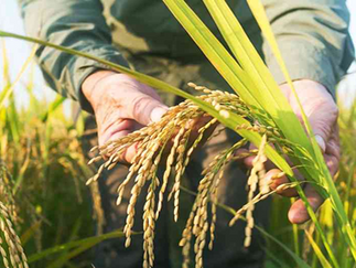 Saiba quais países lideram a venda e a compra de arroz do Brasil