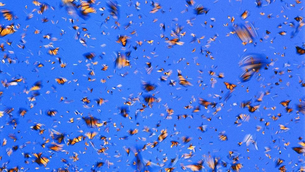 monarchswarm.jpg