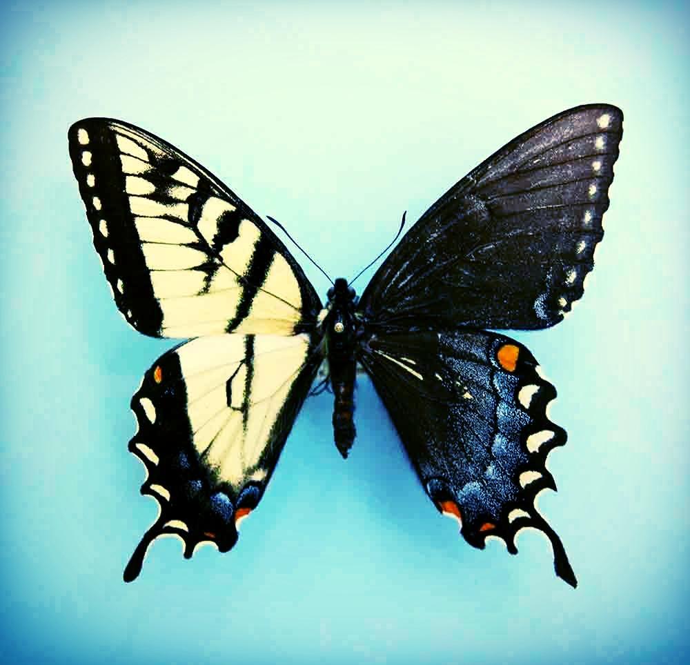 butterfly-1-1