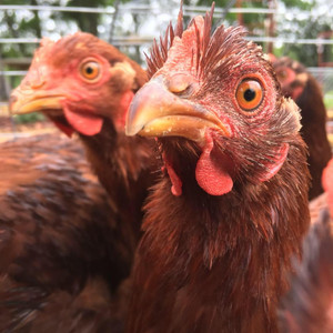 7 Things to Consider Before you Start Your Backyard Chicken Coop