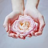 pink rose in women's hands.jpg
