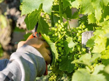 Côté vigne, place à des travaux d'épillonnage...
