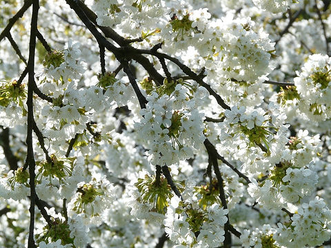 cherry-blossom-6877_960_720.jpg