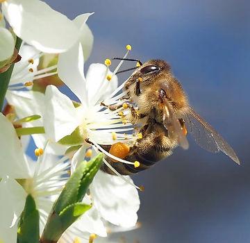 bee-on-cherry-blossom-1403010_960_720_ed