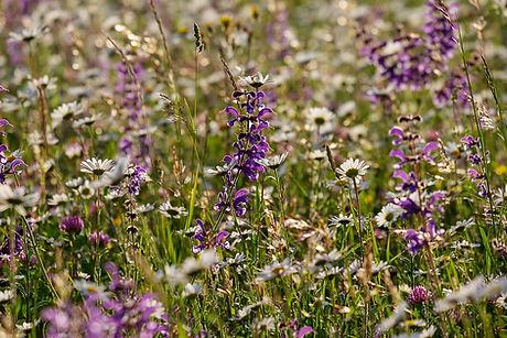 wild-flower-meadow-3417207_960_720.jpg