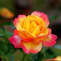 pink-yellow-rose.jpg