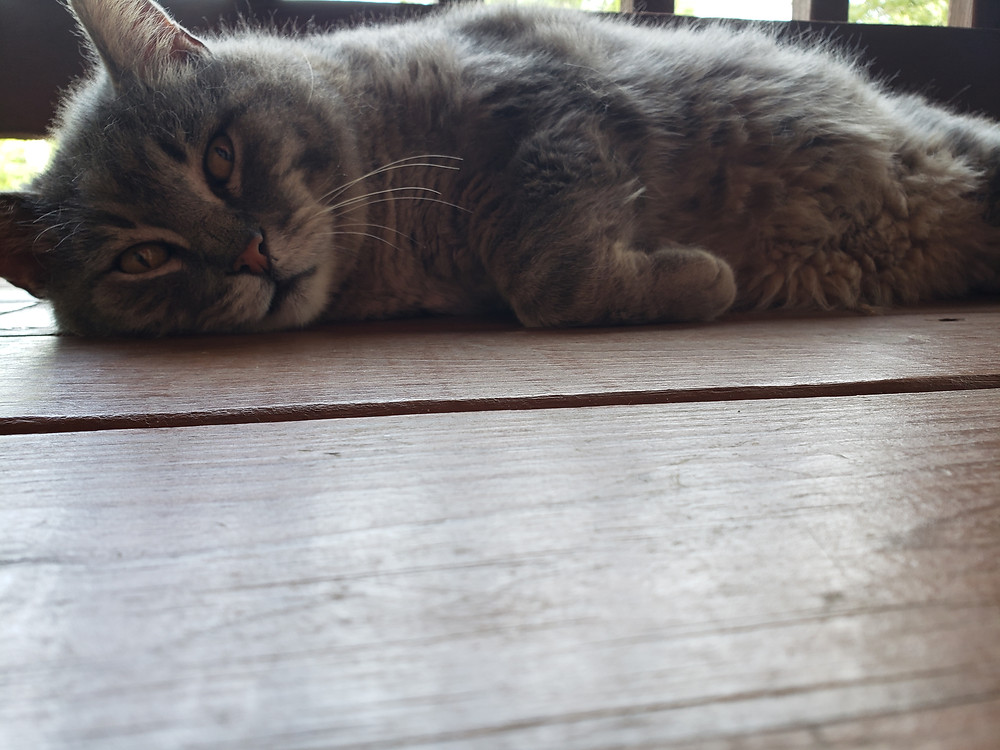 Large gray and white cat laying on the deck floor