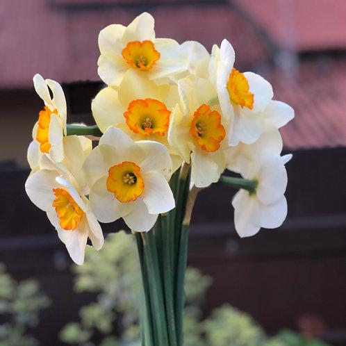 Mazzo Narcisi