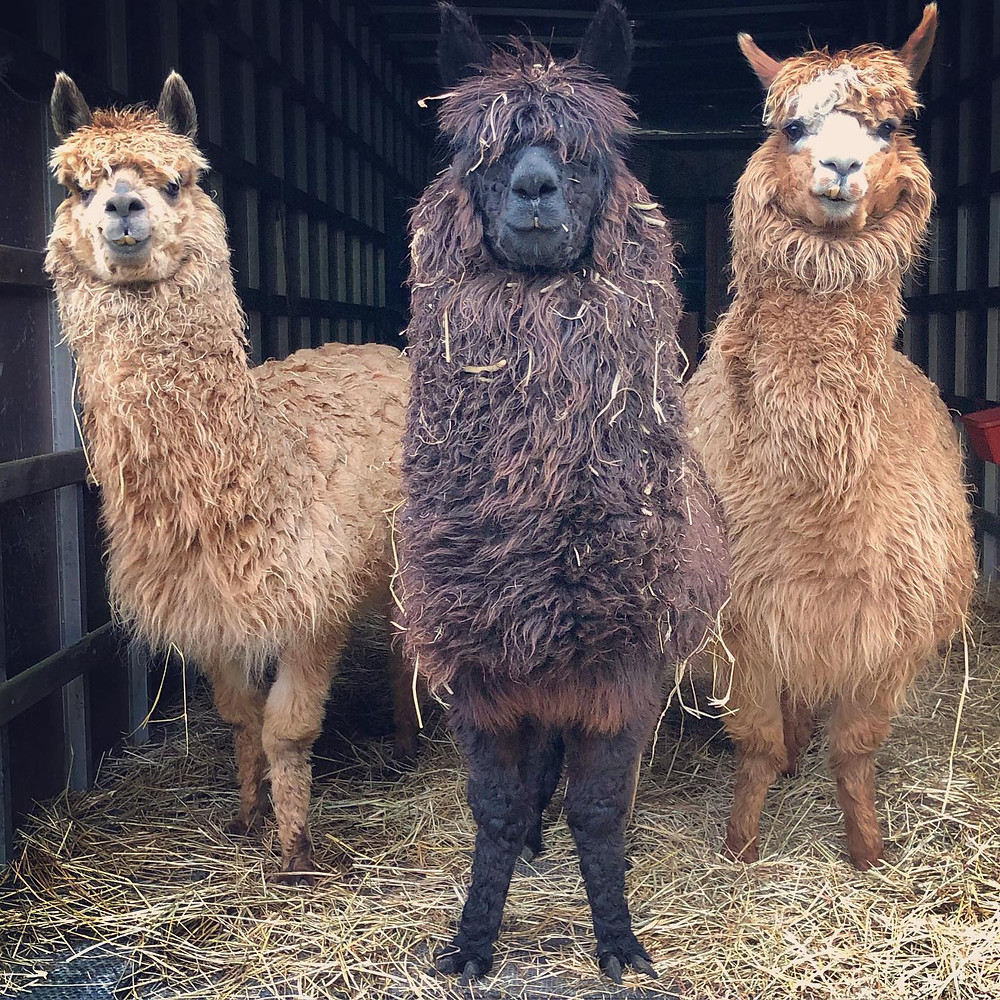 Alpacas at Farm Critter Haven! from their Facebook page
