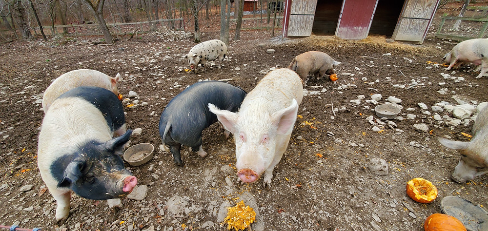 some piggies eating pumpkins at Skylands Sanctuary