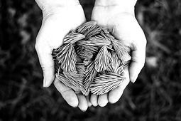 Pine%20needles%20in%20cupped%20hands_edi