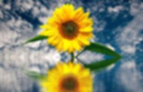 sun-flower-2548968_1920.jpg