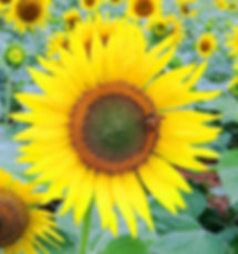 sunflower-171492_1920.jpg