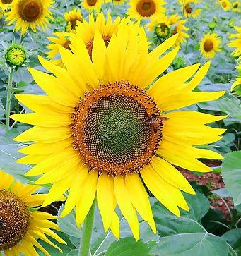 sunflower-171492_1920.jpg