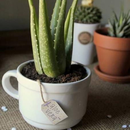 Geen groene vingers? Deze planten zijn niet 'dood' te krijgen!