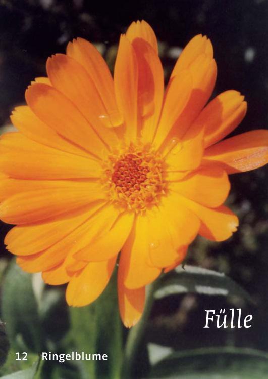 12 Ringelblume - Fülle
