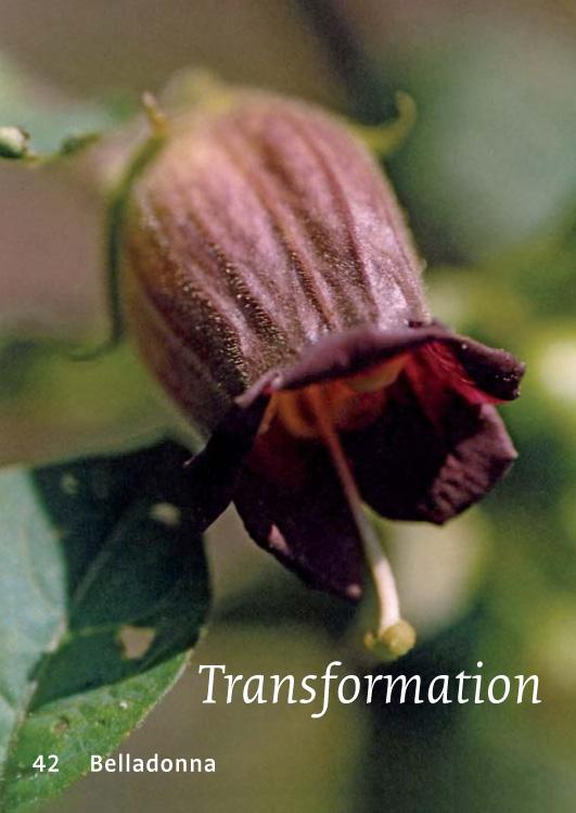 42 Belladonna - Transformation