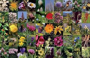 Blütenbilder, blütenkraft Essenzen 50 Stück handgeferigte heimische Blütenessenzen