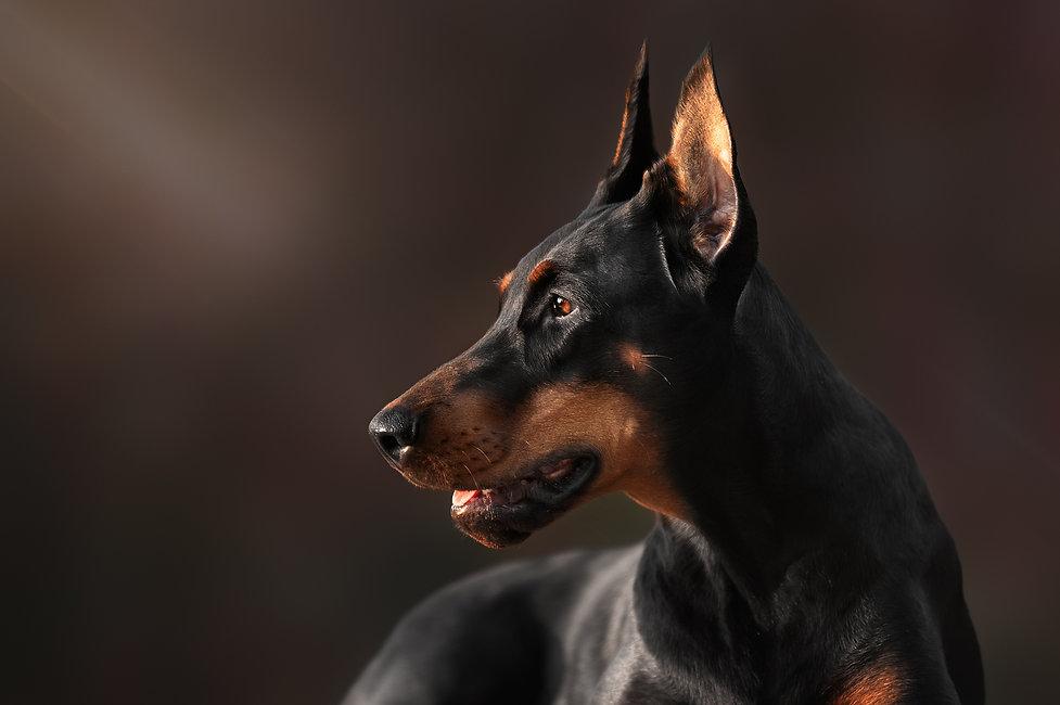 Butiful Portrait of purebred doberman pi