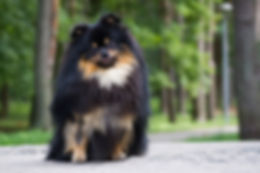Pomeranian dog after dog show posing out