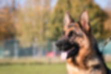 German shepherd dog  posing outside. Sho