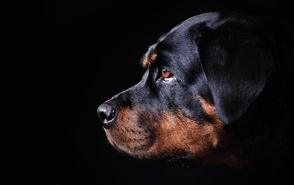_black dog portrait on black background,