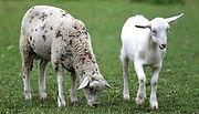 SheepGoat.jpg
