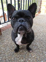FrenchBulldog.webp