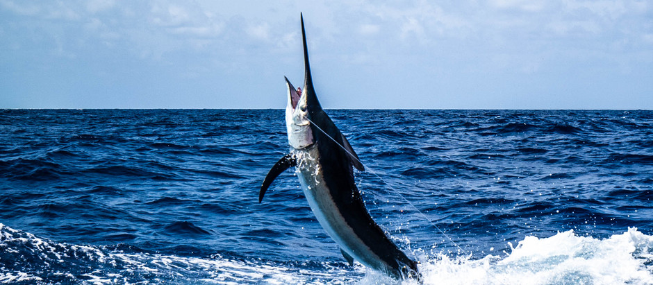 Giant Black Marlin and Brute GT's