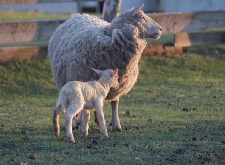 May Long Lambing