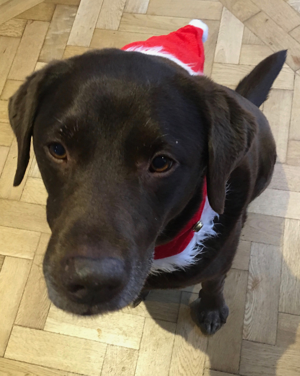 Monty the office dog is unimpressed with his Christmas outfit