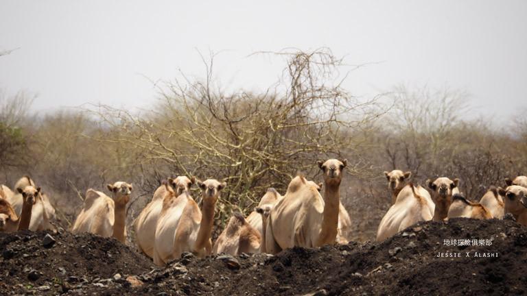 一大群駱駝在小土丘後面探出頭來,萬頭鑽動