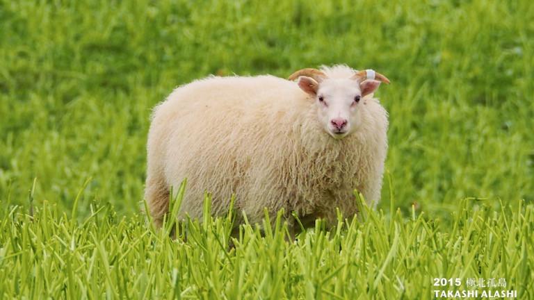 10/25 冰島的羊很膽小