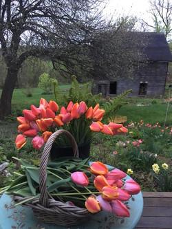 Spring Tulip Harvest