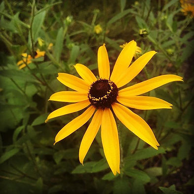 #perfection #rudbeckia #flowerstobeproud