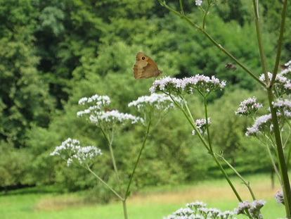 Streuobstwiese Schmetterling