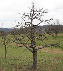 Apfelbaum Baumschnitt