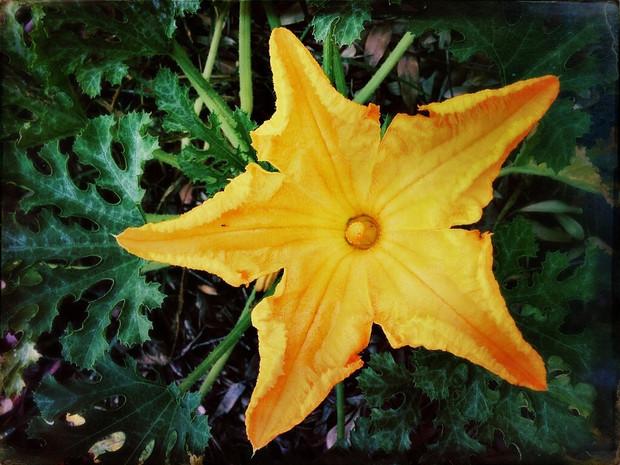 zuchini flower