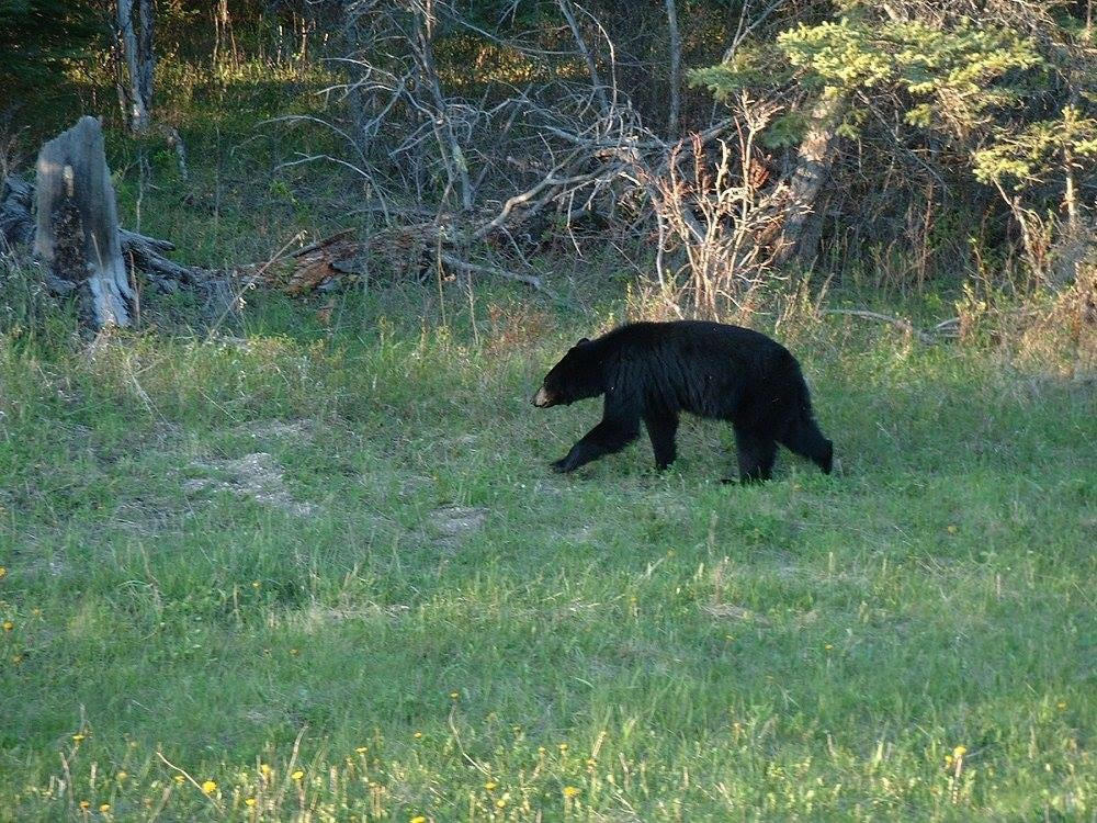 Black Bear riding mountain national park