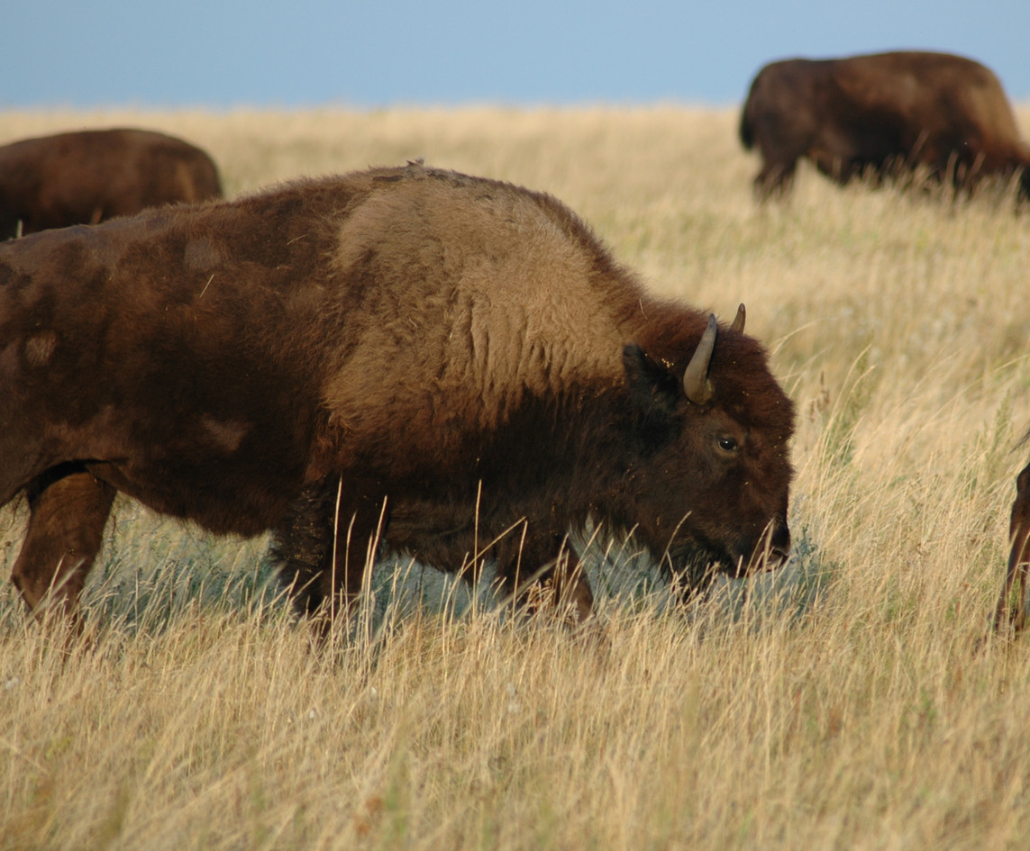 Bison clear lake manitoba