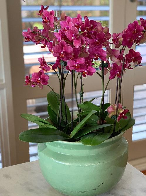 Deluxe Phalaenopsis Plant