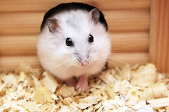 hamster-facts-about-small-mammals-as-pet